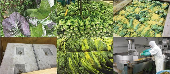 高菜漬けの製造工程